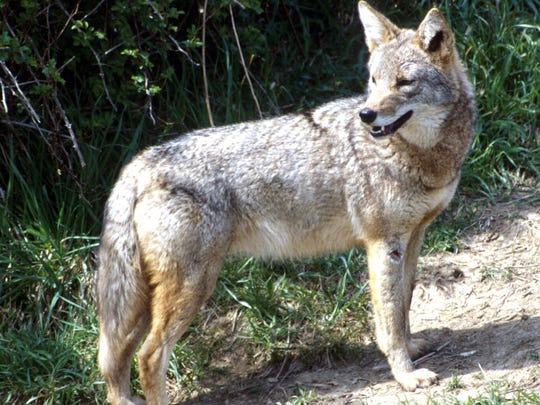 The coyote comes from the same family, Canidae, as the domesticated dog, and is similarly intelligent. Its numbers have been on the rise in Ohio for the past few decades, with packs especially prevalent in the western half of the state.
