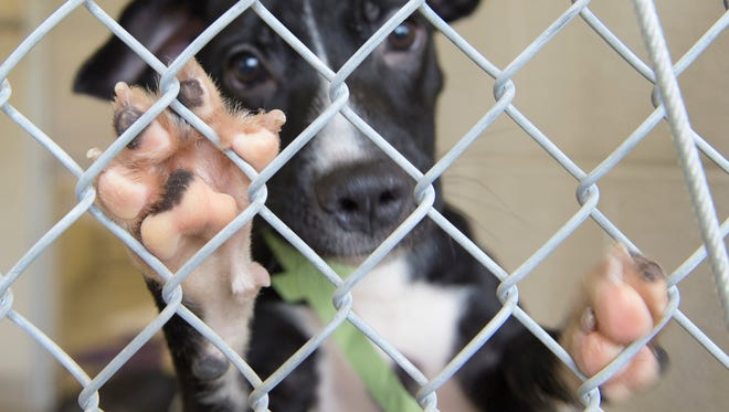 The Humane Society of Vero Beach and Indian River County welcomed 18 dogs from various Puerto Rico shelter rescue groups on Aug. 23, 2017, in Vero Beach. The dogs now are ready for adoption.