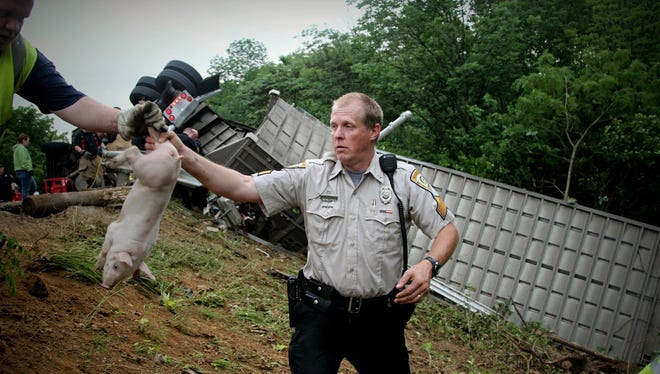 An officer passes off a pig after a truck overturned on a highway carrying about 2,200 pigs in Xenia Township, near Dayton, Ohio, on June 8, 2015.
