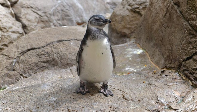 Meet Potter Park's new penguin, Brown Right.