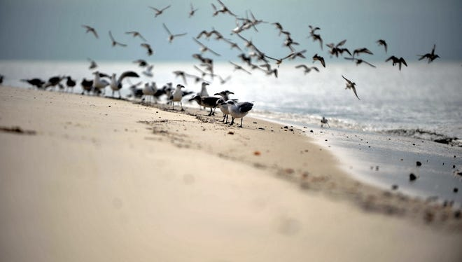 Birds on the shore of Delaware Bay in Fortescue, Sunday, Oct. 4, 2015 in Downe.