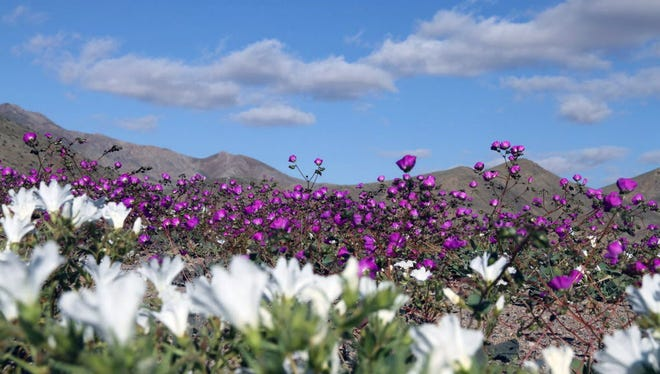 A gigantic mantle of multicolored flowers covers the Atacama Desert, the driest in the world, with an intensity not seen in decades.