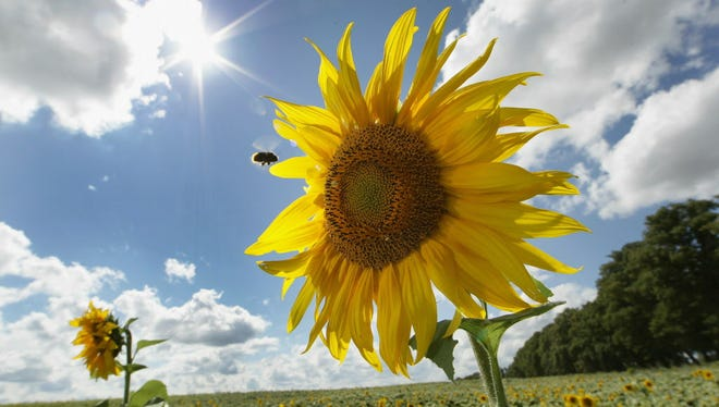 Sunflowers are in full bloom on a sunny day on August 16, 2010 in Altlandsberg near Berlin, Germany.