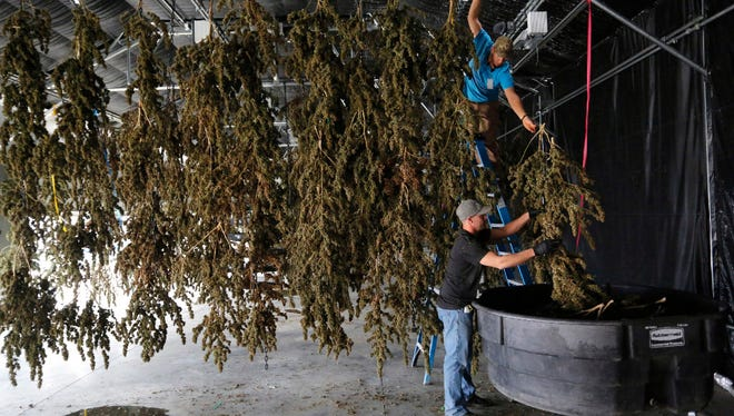Farm workers inside a drying barn take down newly harvested marijuana plants after a drying period at Los Sueños Farms, America's largest legal open-air marijuana farm, in Avondale, Colo. Changing marijuana laws have not made weed more acceptable in the workplace.