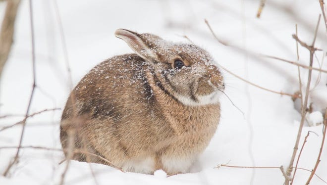 A cold cottontail rabbit in the snow.