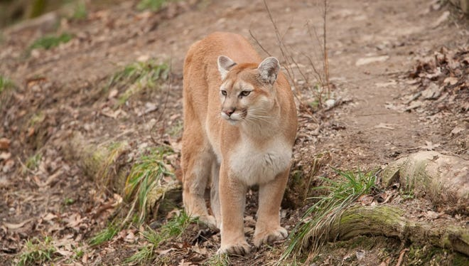A recent sighting of a female mountain lion in Missouri increases the chance the cats are breeding in the state.