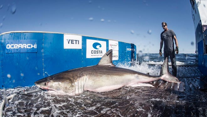 Hilton, a 12 foot, 5 inch Great White Shark, was tagged by OCEARCH on March 3, 2017 off Hilton Head, South Carolina.