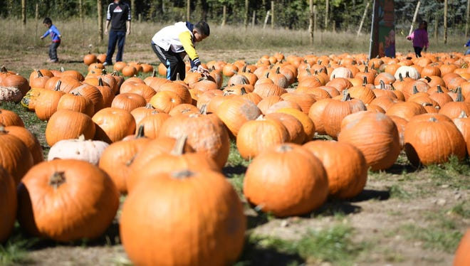 A boy looks through the pumpkin patch at Demarest Farms in Hillsdale in this 2016 file photo.