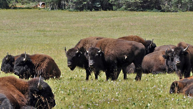 In this file photo provided by the Kaibab National Forest, bison in the national forest adjacent to the Grand Canyon in Northern Arizona group together.
