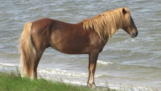An 18-year-old stallion was hit by a car and killed on the Maryland side of Assateague Island on Oct. 5, 2017.