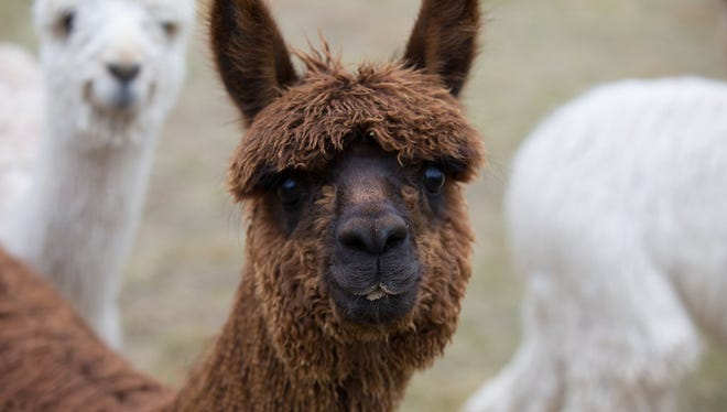 The ideal alpaca fleece will have a complete package of just the right density, micron, luster and organized lock structure. Improving the quality of fleece is important in the fiber industry when producing alpaca garments with a super-soft feel.