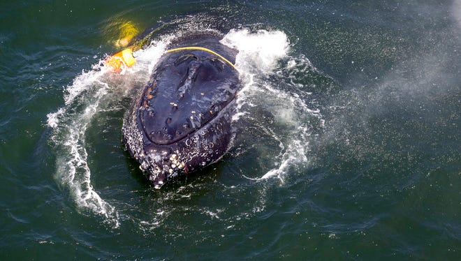 FILE - This undated file photo provided by the National Oceanic and Atmospheric Administration shows a humpback whale entangled in fishing line, ropes, buoys and anchors in the Pacific Ocean off Crescent City, Calif.