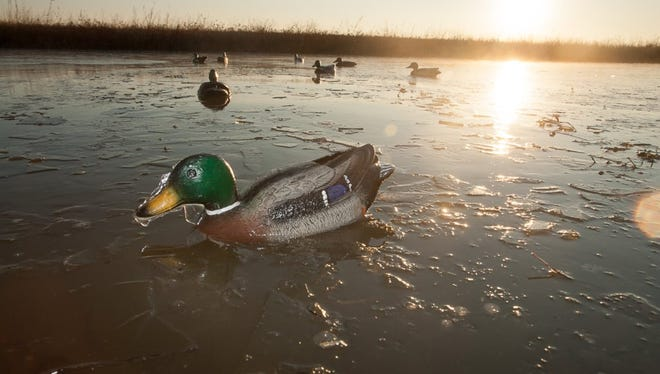Mallard decoys in icy water.