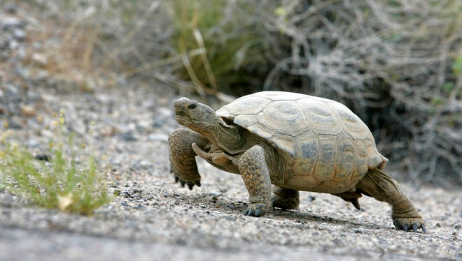 In this May 16, 2006, file photo, a Mojave Desert tortoise walks near a deserted section of old U.S. 93, east of the Coyote Springs, Nev., development site, about 55 miles north of Las Vegas.