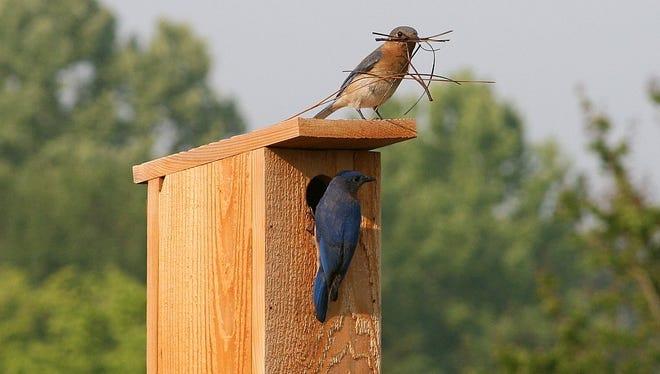 A pair of bluebirds build a nest.