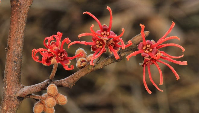 A new species of witchhazel discovered in 2005 has a native range from northern Florida to Arkansas.