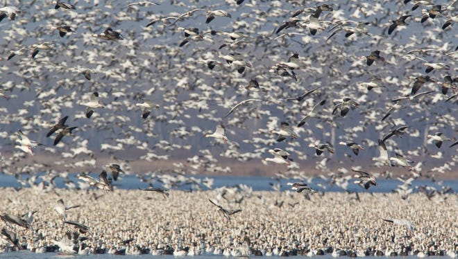 A sea of snow and blue geese as far as the eye can see.