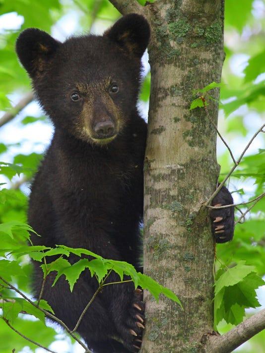 Cute cub in maple - Sue Morse