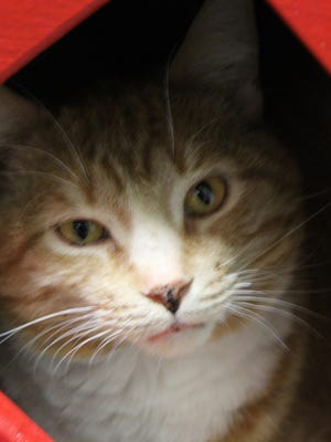 Luke, an avid lap warmer, is waiting at the Oshkosh Area Humane Society for a forever home.