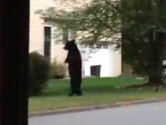 636120485602619870-walking-bear.jpg