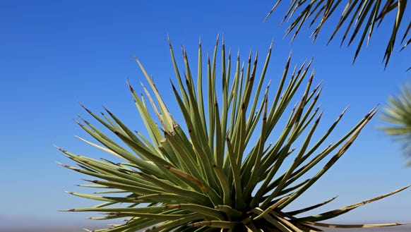 The bayonet-shaped leaves of Joshua trees grow in spirals
