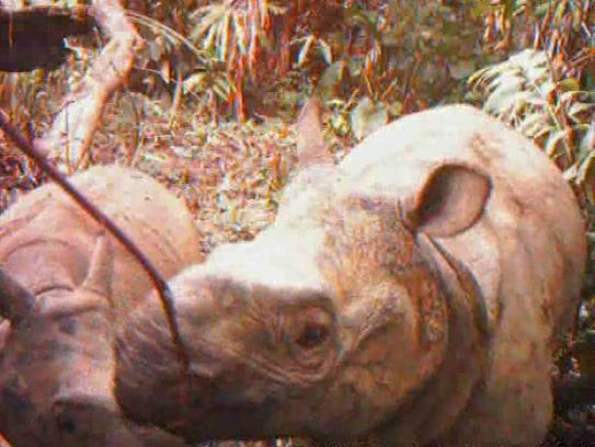 A female Javan rhino walks with her calf in Ujung Kulon