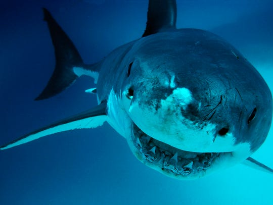 A Great White Shark is shown in South Australia.