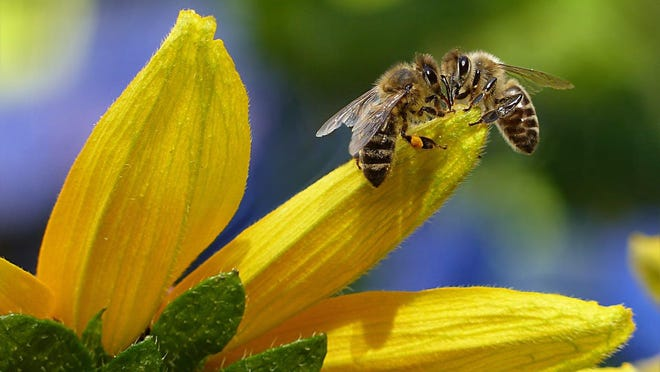 Honey bees are a vital part of our ecosystem because they are efficient pollinators and are very mobile, with whole colonies able to be moved to areas that need pollination for crops.