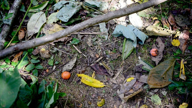 Perssimons have fallen to the ground in the Dr. George Washington Carver Edible Park created by Bountiful Cities, a nonprofit dedicated to solving food insecurity through urban agriculture.