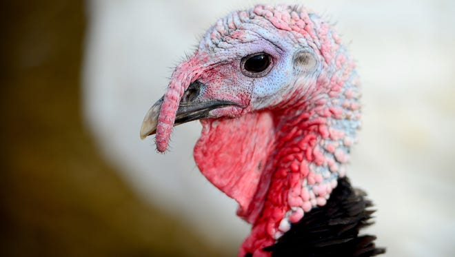 Turkeys roam their enclosure at Hickory Nut Gap farm in Fairview on Wednesday, Nov. 1, 2017. The birds will be processed and sold for Thanksgiving dinner at the farm after the closest small poultry-processing plant closed.