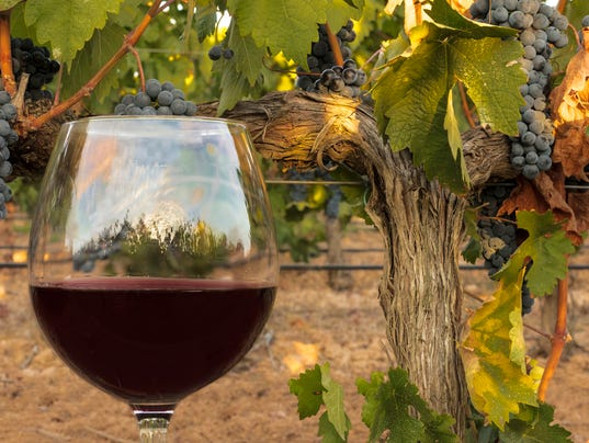 Glass of red wine in vineyard at harvest