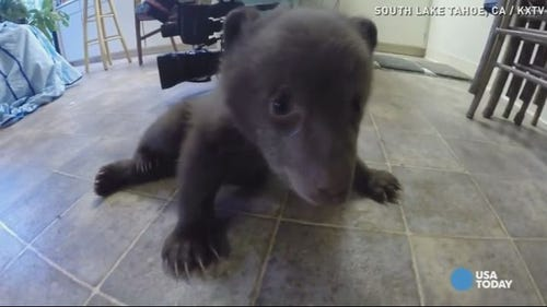 Adorable bear cub plays with camera, learns to walk