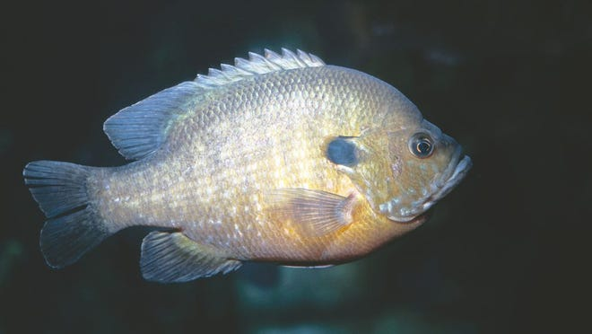 The fish's fighting ability and the tastiness of its filets are two reasons this species is so popular among anglers.