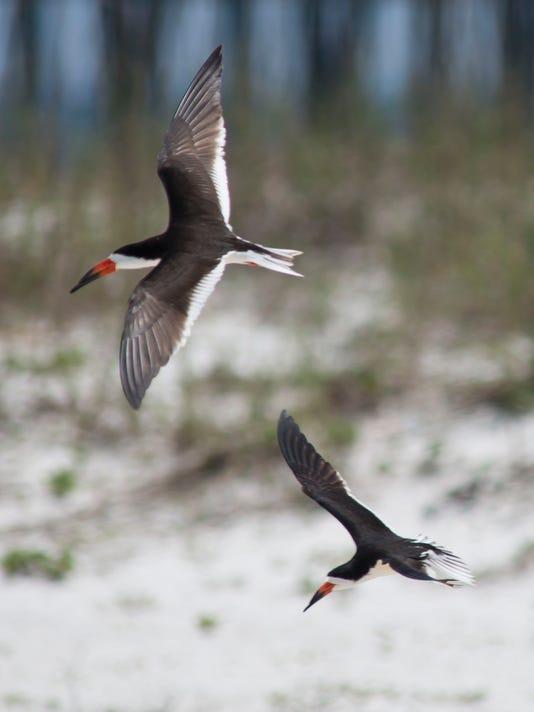 Shorebird Nesting_12.jpg