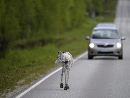 In this photo taken June 10, 2012, a reindeer walks on the road, in Ranua, Finland. There's good news for Rudolph and his friends _ an app is helping officials reduce the number of reindeer killed in traffic accidents in Finland. A simple, one-button interface allows drivers to tap their smartphone screens to register any reindeer spotted near roads. Using GPS technology, it creates a 1.5-kilometer (1-mile) warning zone that lasts for an hour and warns other app users approaching the area.