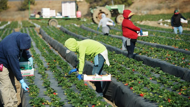 Workers harvest strawberries at an Oxnard farm. A panel has agreed on a process to resolve disputes between growers and workers.