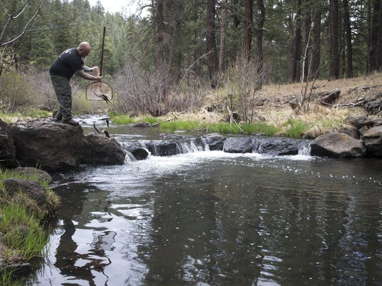Stuart Almon releases a net of Apache trout in the
