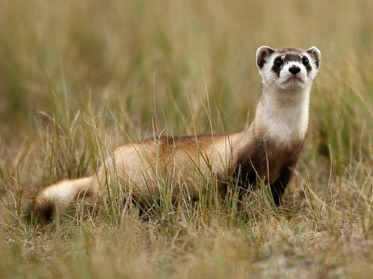 A female black-footed ferret checks out new surroundings after being reintroduced at Fort Belknap Reservation in 2014. Ferrets at UL Bend National Wildlife Refuge have died off after sylvatic plauge wipe out 70 percent of the black-tailed prairie dog population. (Tribune photo: Larry Beckner)
