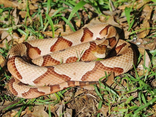 The most common venomous snake in Mississippi is the copperhead, which can be identified by its triangular head and darker patches that resemble saddle bags or Hershey's Kisses.