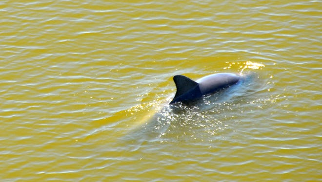 "A dolphin swims earlier this past April in water discolored by a ""brown tide"" algal bloom event in the Indian River Lagoon by the A Max Brewer Bridge in Titusville."