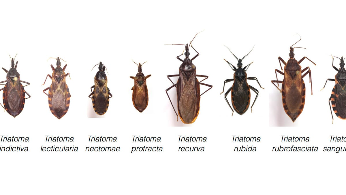 Texas has 11 types of kissing bugs and all carry deadly Chagas disease