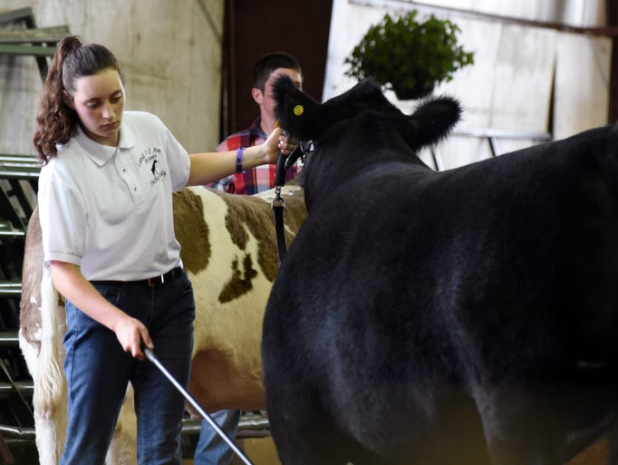 Hannah DePew sets a steer during the Large Animal Showman