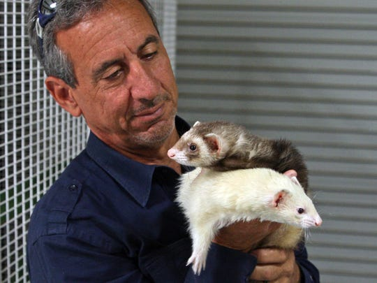 Charlie Sammut, director of the Monterey Zoo, holds Thelma (white) and Louise (sable) ferrets