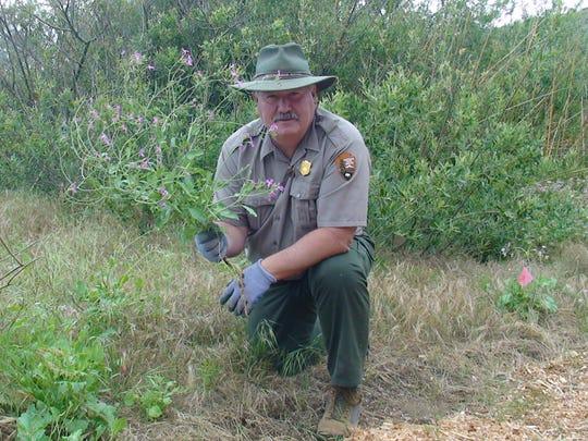 Russell Galipeau is shown pulling weeds on Santa Cruz Island.