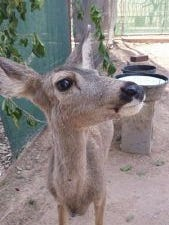 A fawn that was living in a single-wide trailer northwest of Phoenix was confiscated by Game and Fish officials. The deer will be placed in an Arizona zoo once it is deemed healthy enough.