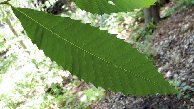 Clockwise from above are the leaf of an American chestnut tree, a view of an American chestnut tree and a 95-foot American chestnut tree.