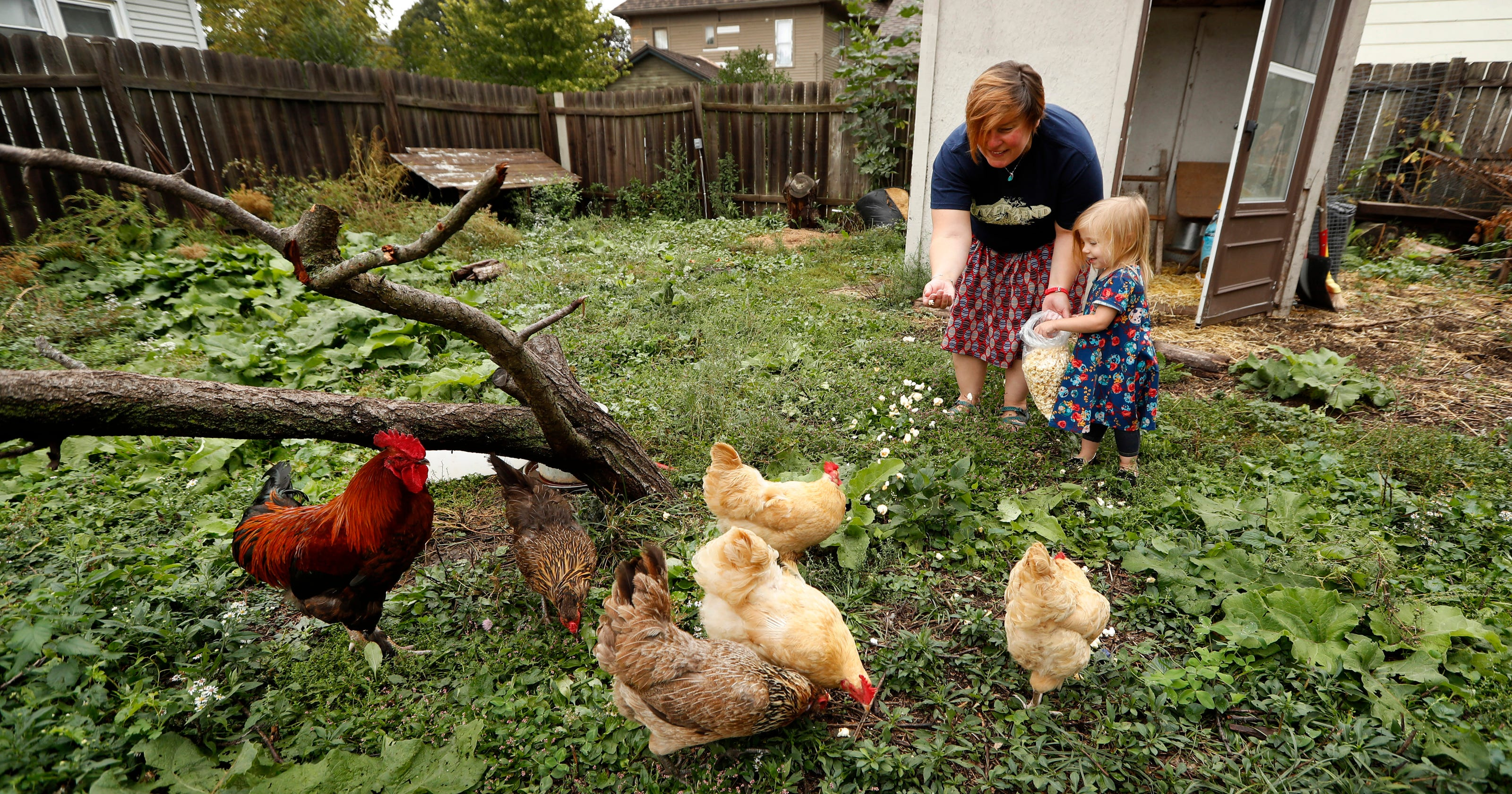 Des Moines could ban roosters from backyard farms
