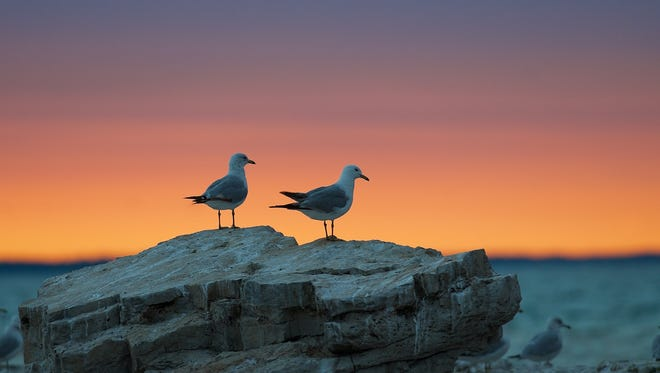 Ring-billed gulls, shown here resting on a limestone outcropping along the Lake Michigan shoreline, are just one of a number of gull species that live or visit here. Photo by Terry Owen of Sheboygan.
