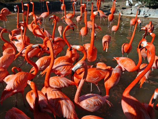Flamingos at Busch Gardens