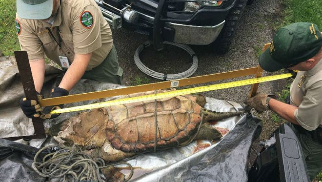 TWRA biologist Chris Simpson and Putnam County wildlife officer Mike Beaty measure the length of the alligator snapping turtle found in Center Hill Lake.